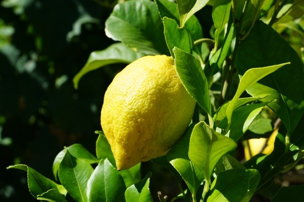 lemon-citrus-tree-citrus-fruits-mediterranean-1