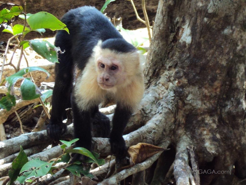 Costa Rica- Wild Capuchin White Face Monkeys, Manuel Antonio Beach