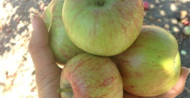 Fresh picked apples, Julian, California