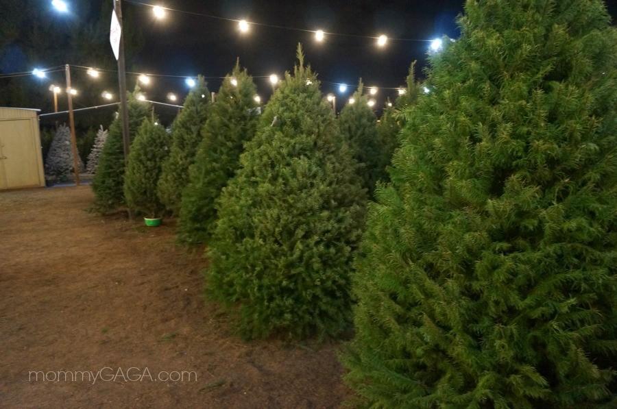 Christmas Trees at Family Christmas Tree Farm, San Diego
