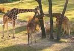 Disney's Animal Kingdom view of the girafes on the savanna