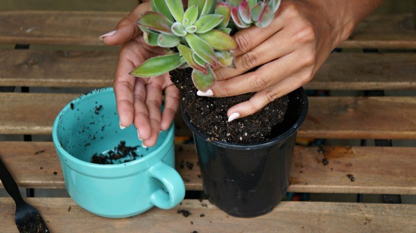 Making succulents in a mug, DIY teachers gifts