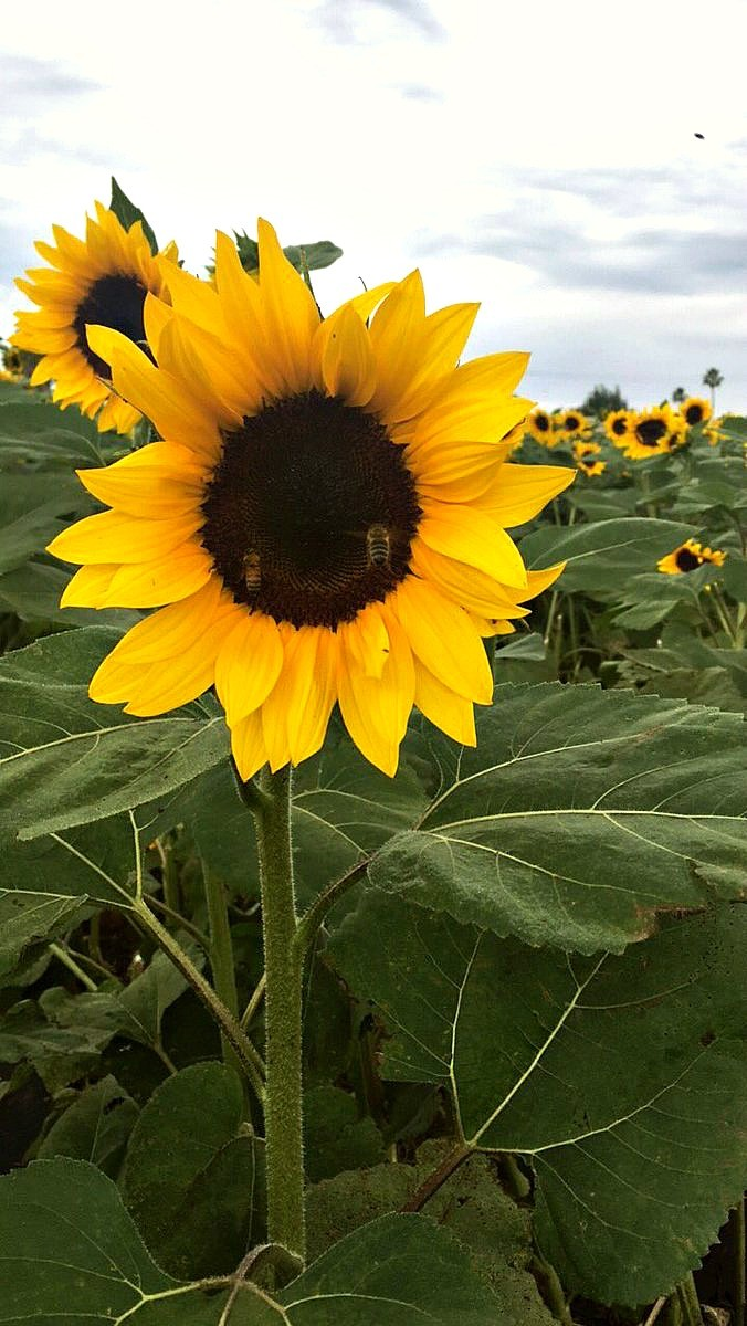 family-friendly-activities-in-camarillo-ca-sunflower-fields-at-mcgrath-family-farm-1