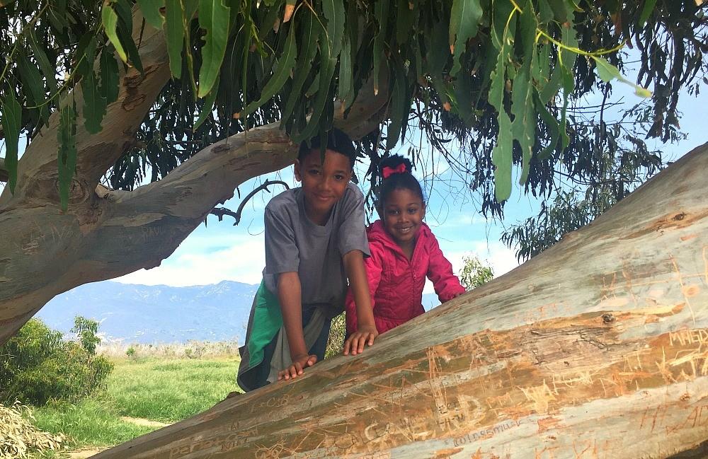 Kids climbing a tree in Carinteria Bluffs Nature Preserve