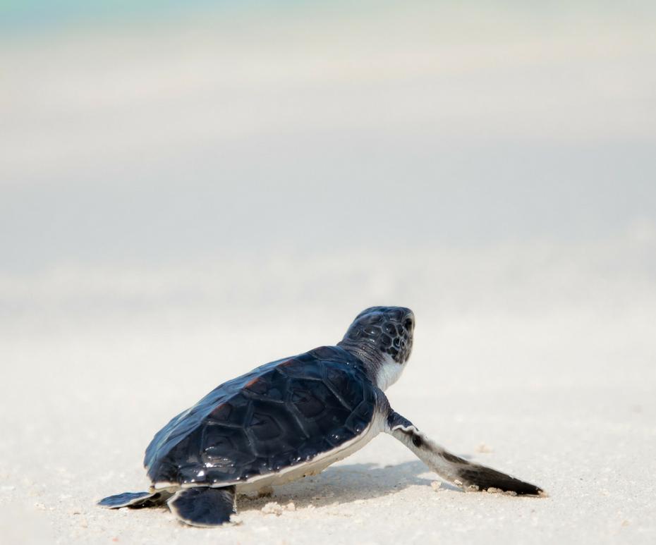 Turtle on the beach at Dreams Los Cabos